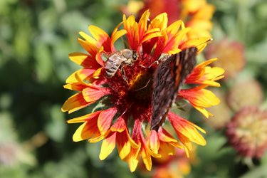 A yellow and red Gaillardia bloom with a bee and painted lady butterfly on the bloom